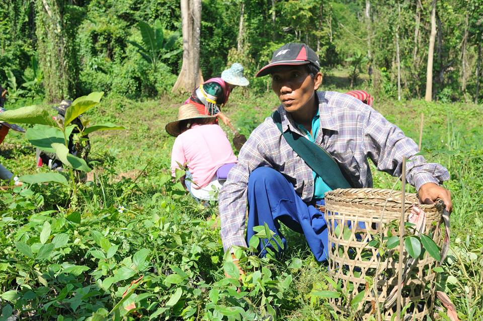 reforestation chiang dao 04