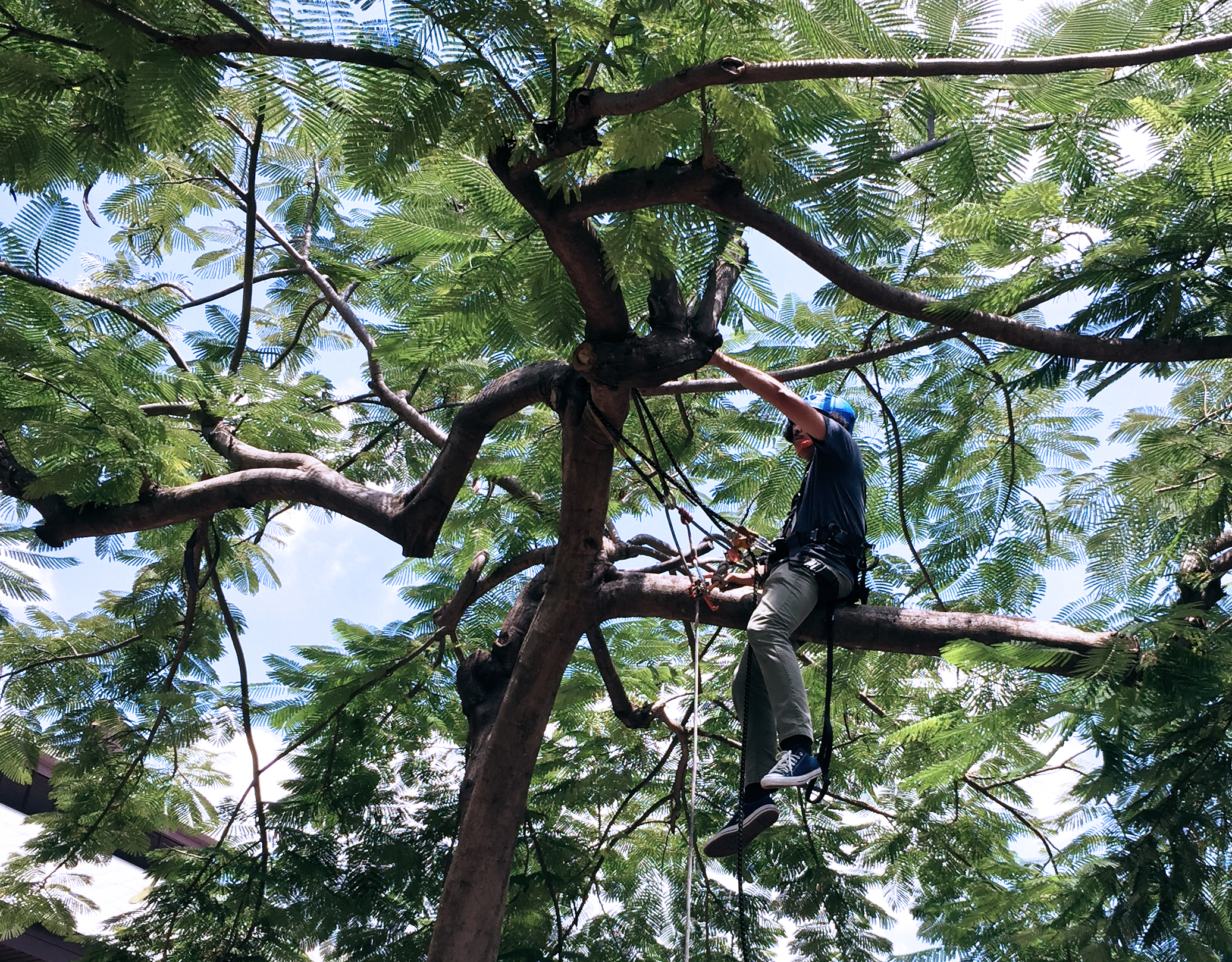 Train Arborists for Conserving Big Trees